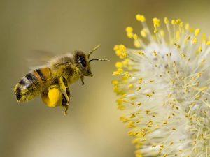 Tinh chất phấn hoa